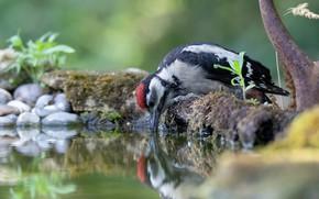 Picture water, bird, thirst, woodpecker