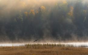 Picture autumn, forest, flight, fog, river, bird, shore, pond, Heron