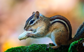 Picture look, nature, pose, moss, walnut, muzzle, Chipmunk, sitting, lunch, rodent, peanuts