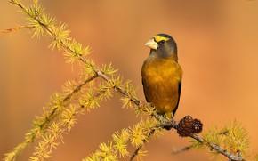 Picture bird, Вечерний американский дубонос, Coccothraustes vespertinus