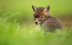 Picture look, blur, baby, Fox, cub, face, Fox