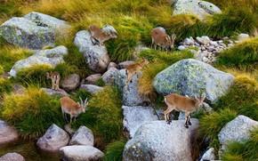 Picture stones, Spain, the herd, Сьерра-де-Гредос, пиренейский козёл
