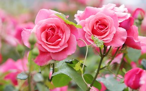 Picture roses, garden, pink