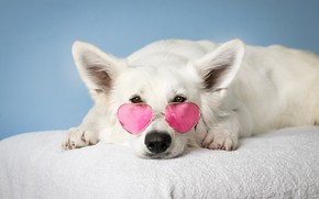 Picture white, dog, glasses, lies, pink, dog, dog, dog, rose-colored glasses
