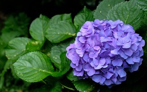 Picture leaves, flowers, branch, flowering, lilac, hydrangea