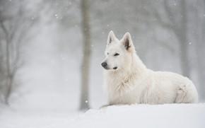 Picture winter, forest, snow, dog, lies, snowfall, Swiss shepherd dog