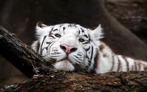 Picture white, look, face, tiger, predator, snag, bokeh
