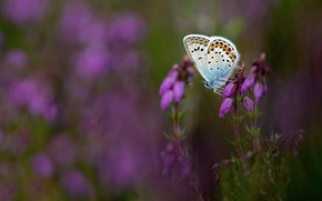 Picture macro, flowers, nature, lilac, butterfly, glade, blurred background, Heather
