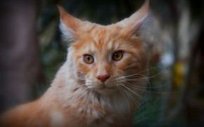 Picture cat, cat, look, face, close-up, background, portrait, blur, red, ears, Kote, handsome, bokeh, Maine Coon, …