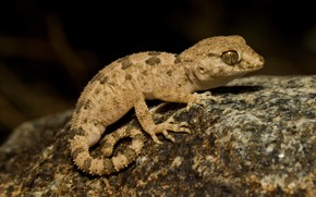 Picture look, the dark background, stone, legs, lizard, Gecko