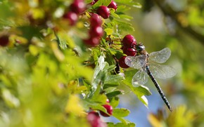 Picture autumn, summer, leaves, macro, light, berries, blur, dragonfly, fruit, red, insect, bokeh, hawthorn