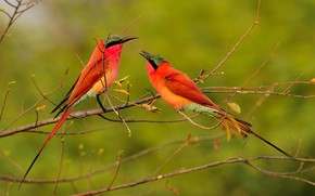 Picture birds, branches, bee-eaters, the bee-eaters