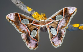 Picture macro, grey, background, pattern, butterfly, branch, insect, wings, brown, beige, Emperor moth