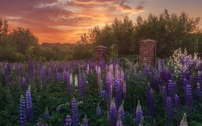 Picture summer, landscape, sunset, flowers, nature, the evening, the fence, lupins