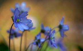 Picture flowers, spring, Hepatica nobilis