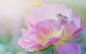 Picture flower, macro, pink, frog, spring, petals, green, peony