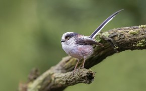 Picture bird, long-tailed tit, polovnik