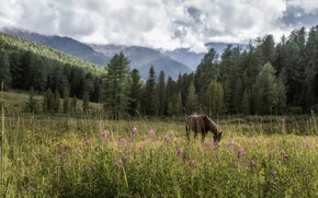 Picture grass, clouds, landscape, mountains, nature, animal, horse, horse, meadow, forest, Altay, Tamara Andreeva