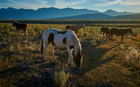 Picture field, grass, light, mountains, horses, the evening, horse, pasture, haze, the herd, grazing, a herd …