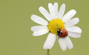 Picture flower, macro, ladybug, beetle, Daisy, green background, water drops