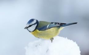 Picture winter, snow, bird, tit, snowball