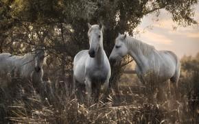 Wallpaper grass, nature, tree, horses, horse, trio, Trinity