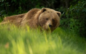 Picture greens, grass, look, face, nature, portrait, bear, mosquitoes, Kodiak