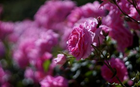 Picture flowers, branches, rose, roses, garden, pink, a lot, bokeh, rose Bush