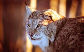 Wallpaper forest, cat, look, face, light, background, portrait, lighting, beautiful, lynx, ears, wild