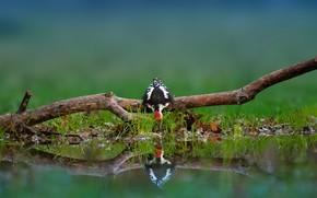 Picture reflection, bird, branch, woodpecker, snag, drink, pond
