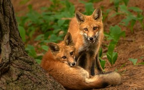 Picture look, nature, pose, tree, two, Fox, red, a couple, Duo, cubs, two Fox