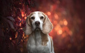 Picture autumn, each, dog, Beagle
