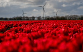 Picture field, the sky, flowers, blur, spring, tulips, red, windmills, buds, a lot, bokeh, plantation, Tulip …