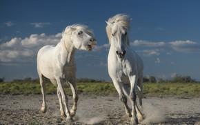 Picture animals, nature, horses, horse, pair