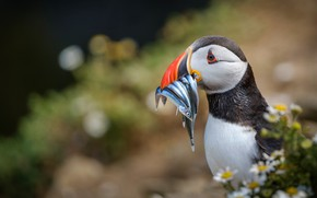 Picture background, bird, portrait, chamomile, fish, stalled, bokeh, mining, Atlantic puffin, meal