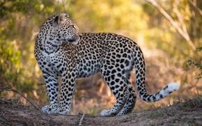Picture look, leopard, big cat