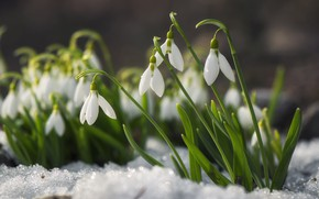 Picture snow, flowers, glade, spring, snowdrops, white