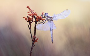 Picture drops, macro, background, plant, dragonfly, stem, insect