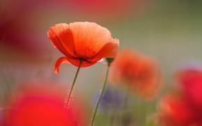 Picture summer, flowers, background, Mac, Maki, blur, red, bokeh