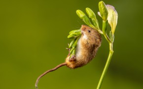 Picture flower, pose, mouse, mouse, buds, green background, ponytail, the mouse is tiny, field mice