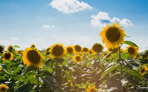 Picture field, summer, clouds, light, sunflowers, flowers, nature, yellow, a lot, sunflower, bees, field of sunflowers