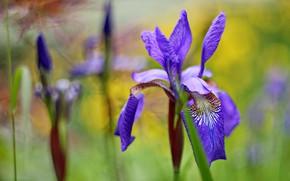 Picture flowers, irises, lilac, bokeh, iris