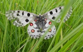 Picture Grass, Macro, Бабочка Апполон