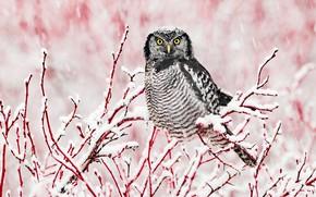 Picture winter, snow, branches, owl, bird, snowfall, owl
