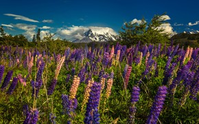 Picture flowers, mountains, meadow, Argentina, Patagonia