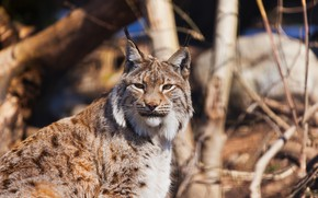 Picture forest, lynx, feline