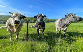 Picture field, summer, the fence, cows, pasture, the fence, three, trio, muzzle, bulls, the herd, Trinity