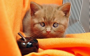 Picture cat, look, strips, pose, kitty, Apple, portrait, baby, red, muzzle, fabric, orange background, British