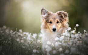 Picture summer, look, face, flowers, nature, glade, portrait, dog, spring, meadow, puppy, white, sitting, bokeh, collie, …
