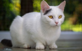 Picture cat, cat, look, face, pose, background, white, sitting, bokeh, yellow eyes